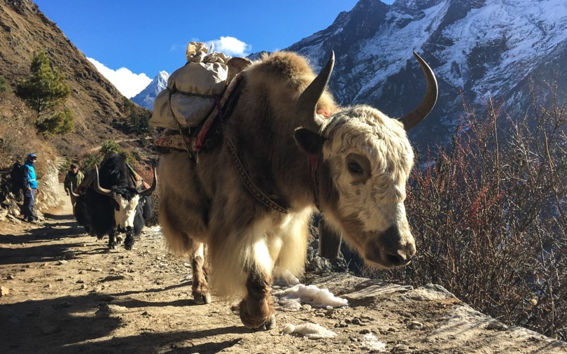 Yaks on trail!