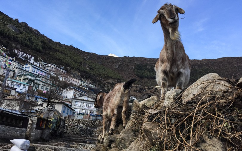Goats as we enter Namche Bazaar