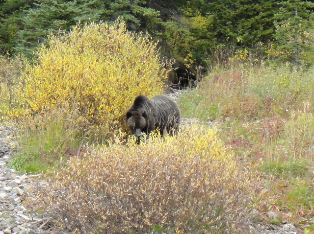 Mama Grizzly! She was huge!
